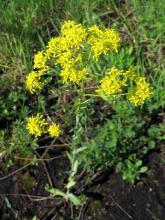 Для защиты от вируса биологи предлагают растение с плантаций Ботсада