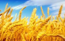 Ученые ТГУ подберут схему для получения максимального урожая пшеницы