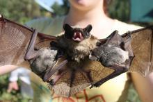 Зоологи ТГУ проверят томских летучих мышей на наличие вируса бешенства