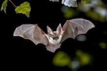Учёные выявили «сибирского» клеща у африканских летучих мышей